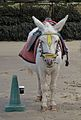 """Whisper"" , Whitby donkey (5906604032).jpg"