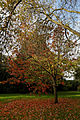 'Prunus sargentii' Beale Arboretum West Lodge Park Hadley Wood Enfield London 1.jpg