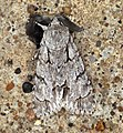 (2284) Grey Dagger (Acronicta psi) (5970739727).jpg