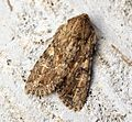 (2333) Large Nutmeg (Apamea anceps) - Flickr - Bennyboymothman.jpg