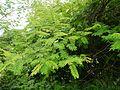 ¿ Acacia catechu ? (7576066928).jpg