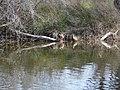 Ànecs collverd a l'estany del braç de la Vidala P1100389.jpg