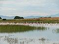 Φλαμινγκος στην Ξηρολιμνη- Οικισμος Φαναριου Ροδοπης.jpg