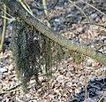 Додаткові корені на стеблі верби.jpg