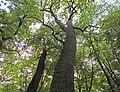 Дуби — Голосіївські велетні, у підніжжя дерева.jpg