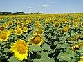 Жълто и синьо - panoramio (12).jpg