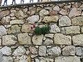 Квітка в стіні.jpg