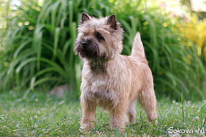 Cairn Terrier - A red/wheaten Cairn Terrier