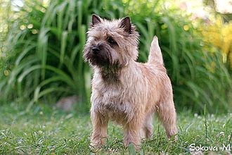 Cairn Terrier - A red/wheaten Cairn Terrier