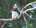 Красноголовый сорокопут - Woodchat Shrike - Lanius senator - Червеноглава сврачка - Rotkopfwürger (35695930136).jpg