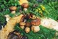 Натюрморт с белыми грибами, душицей и лиственницей.jpg