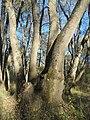 Полски ясен – гора.jpg