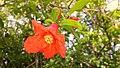 زهرة الرومان.jpg