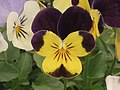三色堇 Viola tricolor Helen Mount -香港北區花鳥蟲魚展 North District Flower Show, Hong Kong- (9255178704).jpg