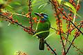 五色鳥IMG 0291.jpg