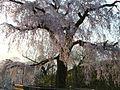 円山公園の桜 - panoramio.jpg