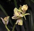 四季奇梅 Cymbidium ensifolium 'Odd Prune' -香港沙田國蘭展 Shatin Orchid Show, Hong Kong- (12147561396).jpg