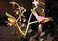 報歲海南小龍 Cymbidium sinense 'Hainan Small Dragon' -香港沙田洋蘭展 Shatin Orchid Show, Hong Kong- (12235287653).jpg