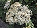 大花蓍草 Achillea grandifolia -波蘭 Krakow Jagiellonian University Botanic Garden, Poland- (36416751000).jpg