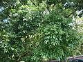 大葉楠樹葉2.JPG