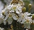 山枇杷(台灣枇杷) Eriobotrya deflexa -台北植物園 Taipei Botanical Garden- (9229875980).jpg