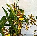文心蘭 Oncidium Splinter -香港青松觀蘭花展 Tuen Mun, Hong Kong- (15347342198).jpg