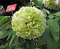 牡丹-春柳 Paeonia suffruticosa 'Spring Willow' -武漢東湖牡丹園 Wuhan, China- (12452168445).jpg
