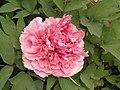牡丹-瓔珞寶珠 Paeonia suffruticosa 'Necklace Pearls' -洛陽西苑公園 Luoyang, China- (12478262204).jpg