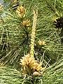 黑松 Pinus thunbergii -鄭州紫荊山公園 Zhengzhou, China- (9213350885).jpg