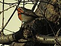 -2018-12-14 Robin (Erithacus rubecula), Trimingham, Norfolk (1).JPG