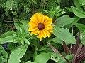 -2020-09-10 Flower of a Rudbeckia (Rudbeckia hirta), Trimingham (2).JPG