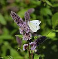 00 1984 Grüne Minze (Mentha Spicata) - Schmetterling (Weissling).jpg
