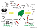 04 03 19 ciclo de vida, Erysiphales, Ascomycota (M. Piepenbring).png