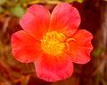 10 o' clock flower.JPG