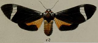 <i>Amerila syntomina</i> species of insect