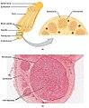 1319 Nerve StructureN.jpg