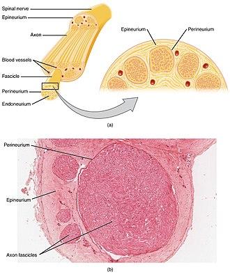 Nerve - Cross-section of a nerve