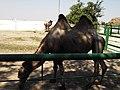 14.Двогорбий верблюд (9).jpg