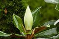 2007 06 29 magnolia40.jpg