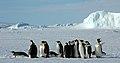 2007 Snow-Hill-Island Luyten-De-Hauwere-Emperor-Penguin-02.jpg
