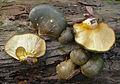2012-10-16 Sarcomyxa serotina (Pers.) P. Karst 272414 crop.jpg