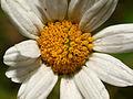 2013-06-27 21-47-52-Asteraceae.jpg