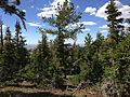 2013-07-12 16 48 10 Whitebark Pine and Subalpine Fir on the northern slopes of Copper Mountain, Nevada.jpg