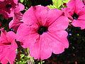 2013-07-31 13-03-21-fleur-Petunia.JPG