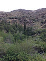 2014-08-19 15 34 51 Trees along the Owyhee River in northern Nevada including a single Subalpine Fir (Abies lasiocarpa).JPG