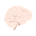 201405 pituitary gland in brain.png