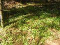 2014 0510Alam-Pedja harilik jänesekapsas - Oxalis acetosella.jpg