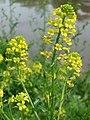 20150504Barbarea vulgaris2.jpg
