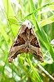 20150913 - 15.13 Agaatvlinder (Phlogophora meticulosa) 2.jpg