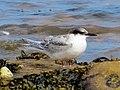 2016-08-17 Sterna dougallii, St Marys Island, Northumberland 15.jpg